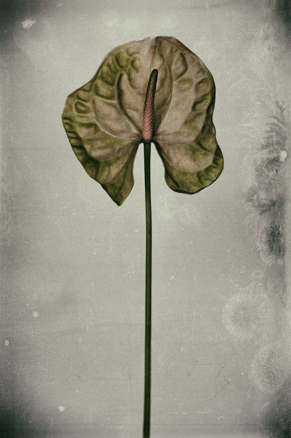 Anthurium 595x894 - Marco Girolami Photographer exhibits in Noema Contemporary Photography Art Gallery in Milano