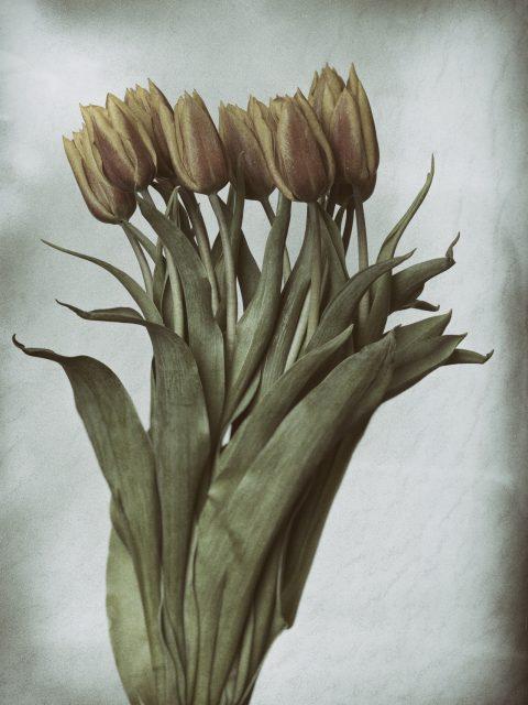 Orange Tulips 480x640 - Marco Girolami Photographer exhibits in Noema Contemporary Photography Art Gallery in Milano