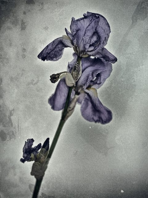 Pale Iris 480x640 - Marco Girolami Photographer exhibits in Noema Contemporary Photography Art Gallery in Milano