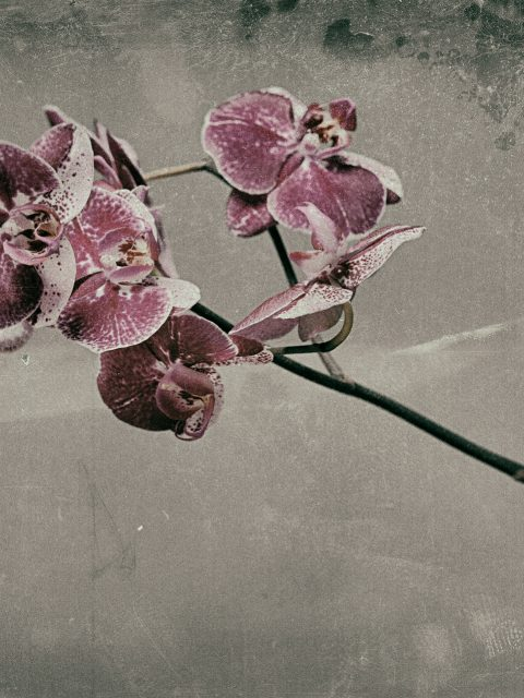Pink  Phalaenopsis 480x640 - Marco Girolami Photographer exhibits in Noema Contemporary Photography Art Gallery in Milano