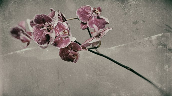 Pink  Phalaenopsis 690x384 - Marco Girolami Photographer exhibits in Noema Contemporary Photography Art Gallery in Milano