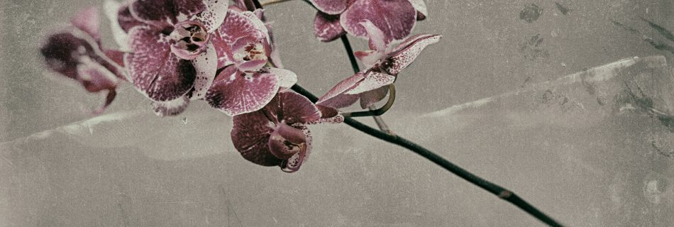Pink  Phalaenopsis 950x320 - Marco Girolami Photographer exhibits in Noema Contemporary Photography Art Gallery in Milano