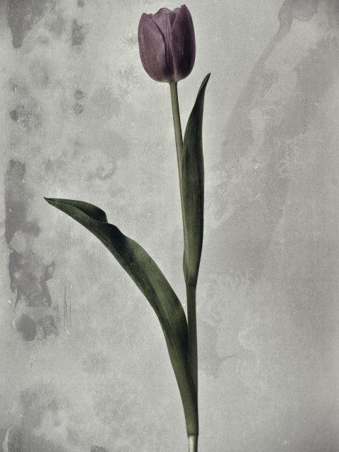 Vintage Tulip 480x640 - Marco Girolami Photographer exhibits in Noema Contemporary Photography Art Gallery in Milano