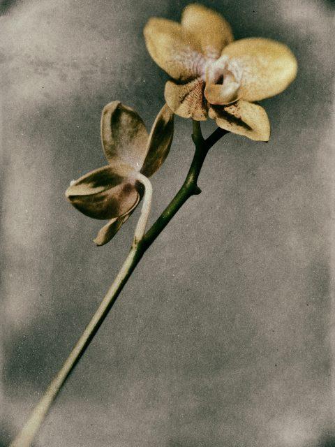 Yellow Phalaenopsis 480x640 - Marco Girolami Photographer exhibits in Noema Contemporary Photography Art Gallery in Milano