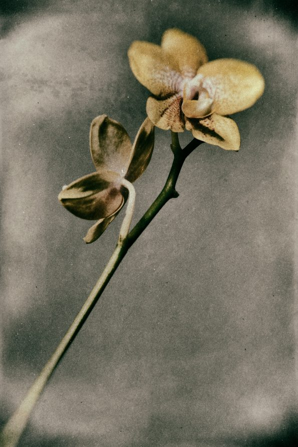 Yellow Phalaenopsis 595x894 - VINTAGE FLOWERS