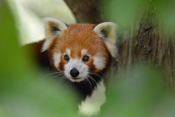 fire fox 595x396 - Alfie Bowen, the photographer that loves the wild Nature