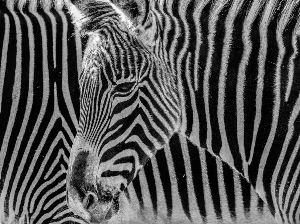 incognito 595x444 - Alfie Bowen, the photographer that loves the wild Nature
