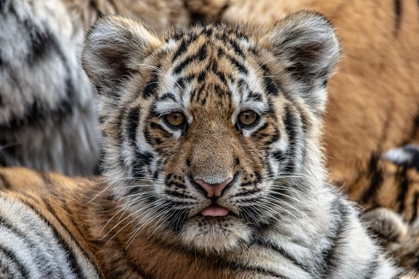 tiny tiger 595x397 - Alfie Bowen, the photographer that loves the wild Nature